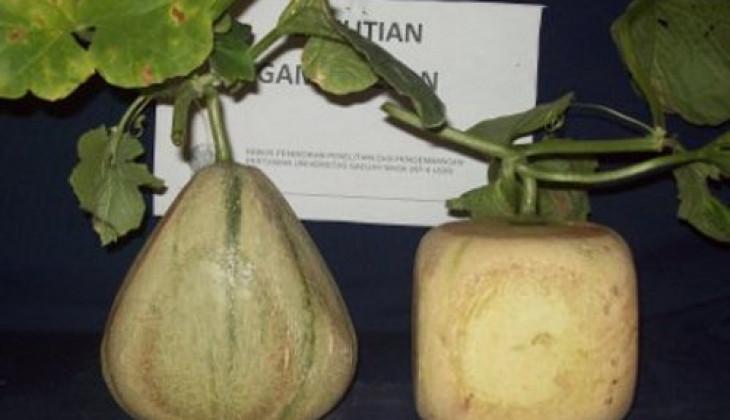 KP4 Kembangkan Melon Kotak, Segitiga, dan Buah Hati