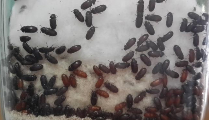 Not Tested, Careful Consuming Japanese Ants to Cure Diabetes